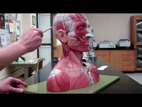 Muscles: Part 1 - Head and neck muscles