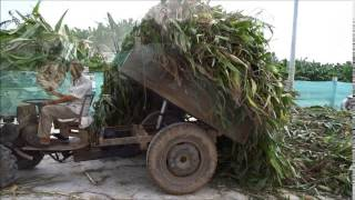 Farmers making corn silage in Vietnam