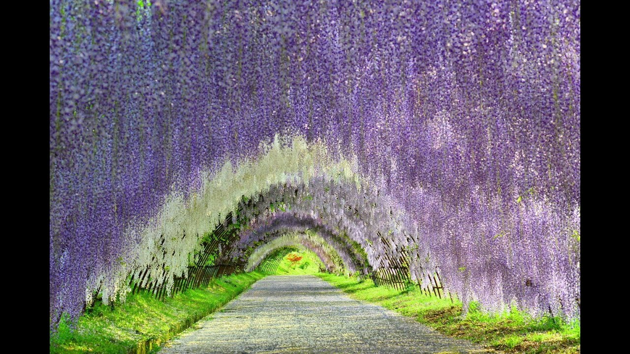Flower Tunnel 河内藤園・満開の藤 Youtube