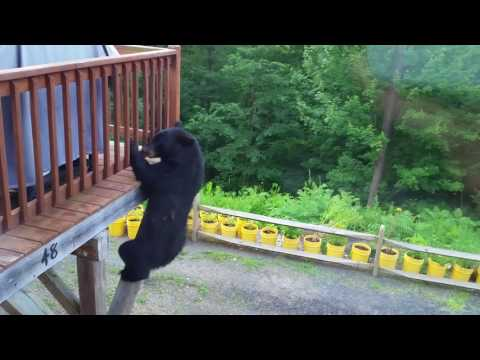 Bear on a Mission Climbs Up House's Deck in Montgomery