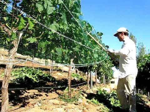 Netting Grape Vineyard With Woven Mesh Bird Net to Protect Grapes from Birds