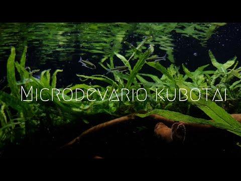 Smaragd Zwergrasbora //Microdevario Kubotai