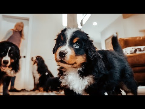 WEEK 5 PUPDATE! Life with 14 Bernese Mountain dogs! Ep. 5 || vlog015