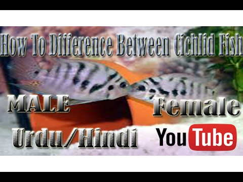 How To Difference Between Cichlid Fish Male Female Urdu Hindi Youtube