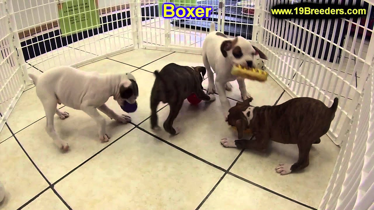 Boxer Puppies Puppies For Sale In Portland Maine Me