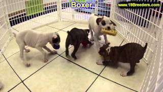 Boxer, Puppies, Puppies, For, Sale, In, Portland, Maine, Me, Brunswick, Waterville, Westbrook, Saco