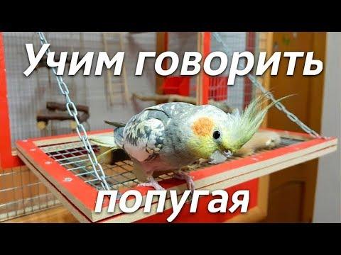 Вопрос: Умеют ли разговаривать попугаи кореллы?