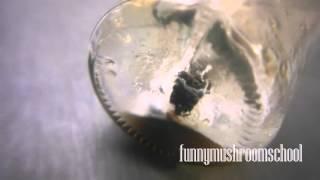 Как вырастить мицелий ШАМПИНЬОНА из гриба #1(Как вырастить мицелий ШАМПИНЬЙОНА из гриба? Это, наверное, первый вопрос, который интерессует любого начина..., 2015-09-21T09:38:12.000Z)