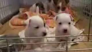 """ДЖЕК РАССЕЛЛ ТЕРЬЕР.  Собака из фильма """"МАСКА""""."""