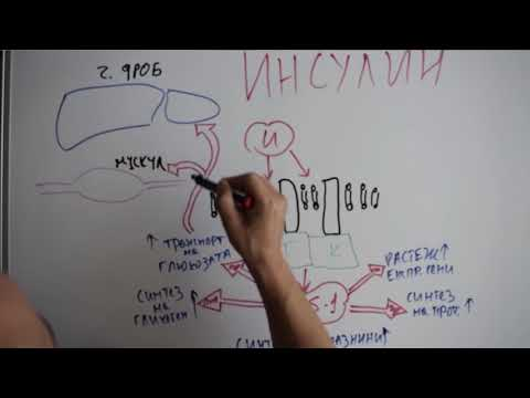 Епизод 2 - инсулин и глюкагон (анимация)