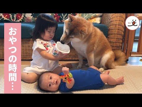 お兄ちゃん柴犬におやつをあげていたら…大惨事に🐶💥💦【PECOTV】