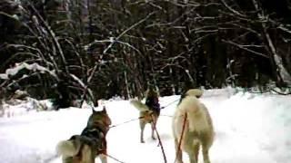 Упряжка хаски и гренландских собак