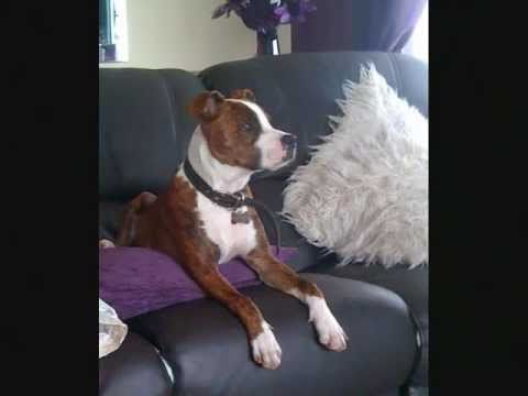 Staffy Cross Boxer Mad Max Youtube