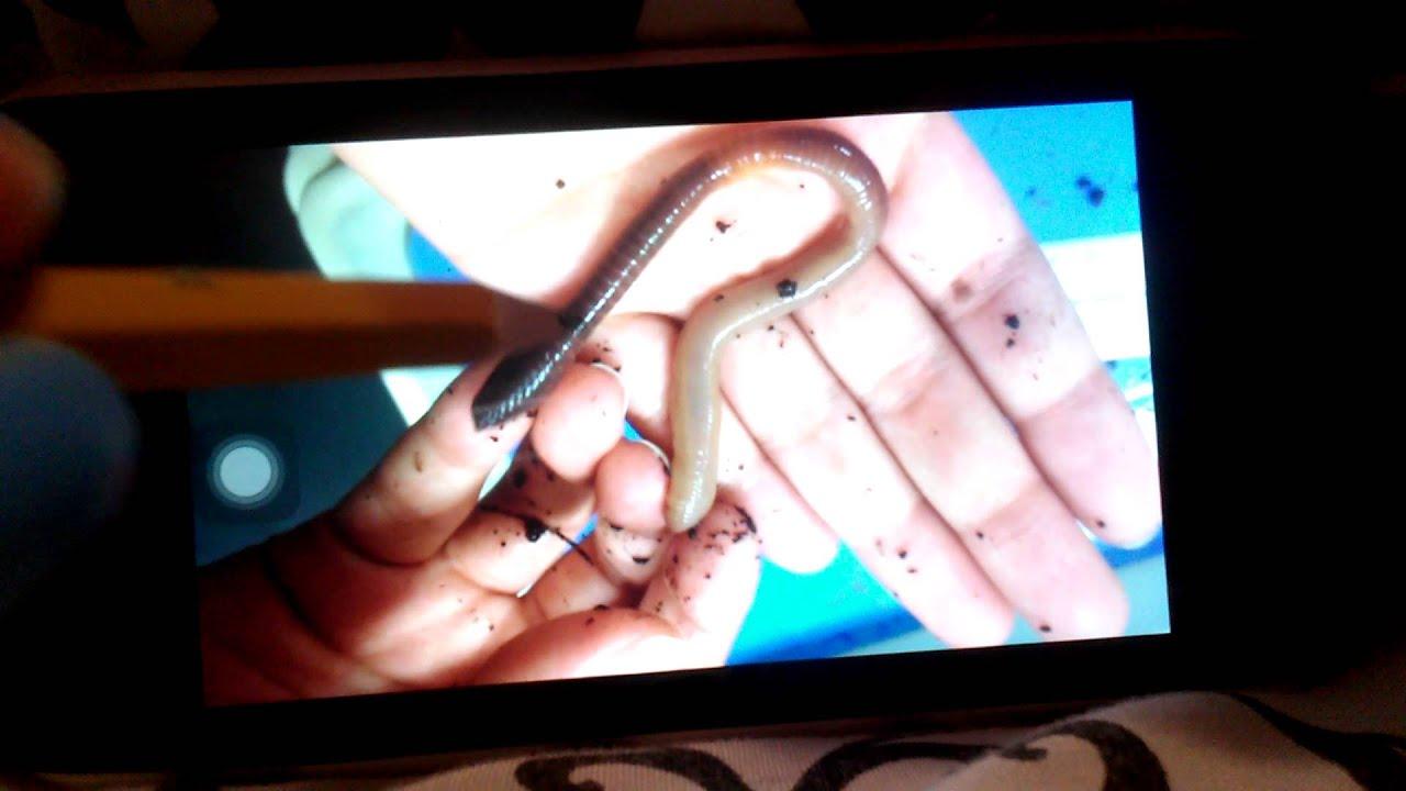 External anatomy of a earthworm - YouTube