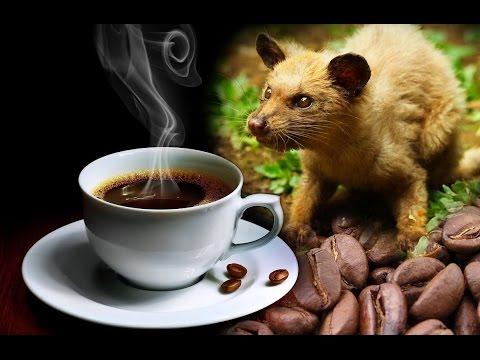 Hayvan Dışkısından Dünyanın En Pahalı Kahvesi : Kopi Luwak
