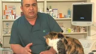 Kedilerde böbrek yetmezliği nasıl tedavi edilir