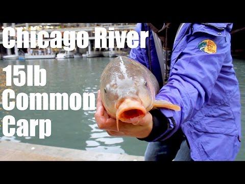 15lb Common Carp caught in Chicago River