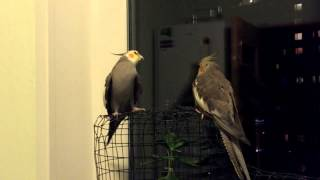 Попугай корелла поет песню из фильма Убить Била (Kill Bill)