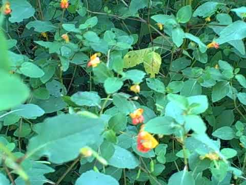 Jewelweed/Touch Me Not