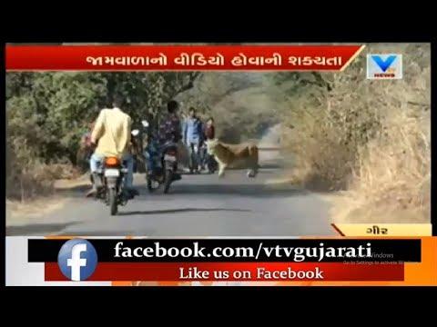 Video Viral: Lions Family take a stroll in Gir Jamvala Road   Vtv News