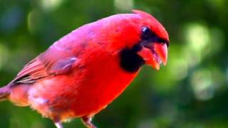 BEAUTIFUL BIRDS MINNESOTA NATURE IN HD