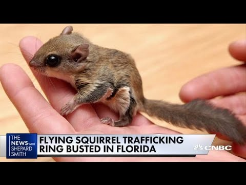 Flying squirrel trafficking ring busted in Florida