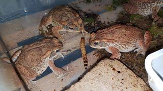 Весёлые жабы ловят червячков и соображают на троих