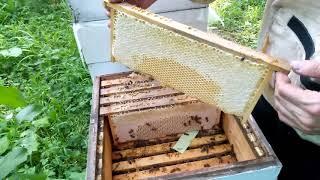 Отбор рамок и откачка мёда из малоформатных ульев. Улей МФУ #пчеловодонлайн #pchelovodonline