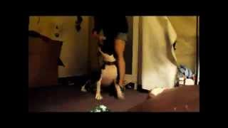 Lollys Leash Dance The Pit Bull Staffordshire Great Dane Boxer Mix