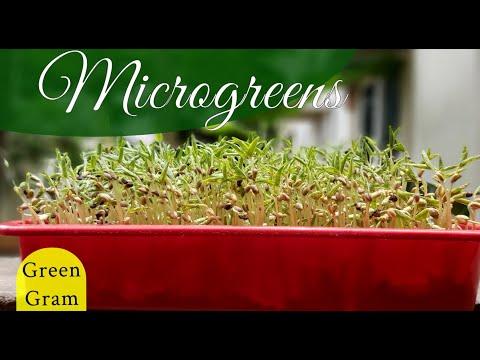 How to grow Green Gram Microgreens at Home / Growing Microgreens / Home gardening Ideas