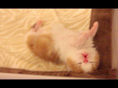 newborn exotic shorthair kitten dreaming youtube