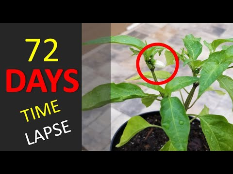 Growing Jalepeno Plant From Seed | 72 Day Time Lapse | Will It Harvest or No?
