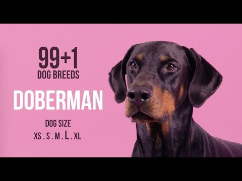 Doberman / 99+1 Dog Breeds