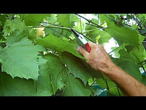 Что делать с побегами винограда,когда они достигли верха шпалеры.Уход за виноградом летом