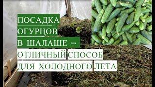 Посадка Огурцов в Открытый Грунт в Шалаше. Отличный Способ Для Холодного Лета!