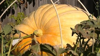 What's the secret to growing giant pumpkins?
