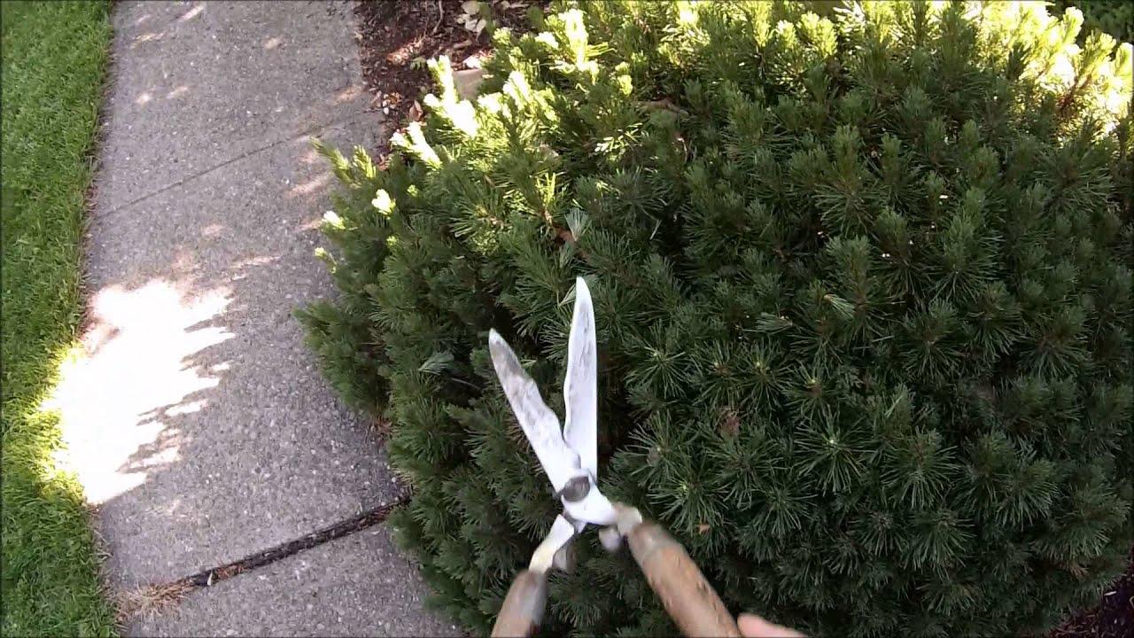 How To Trim A Mugo Pine Youtube