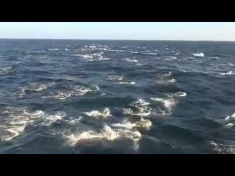 dolphins swimming and jumping in Mauritania in front of ship