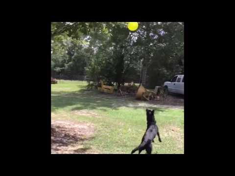 Dog jumping for balloon