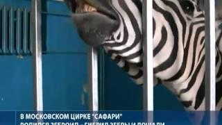 Уникальный детеныш -- зеброид родился у зебры Шакиры