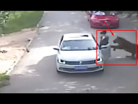 Tiger Attack Woman  and kill in Beijing Badaling Chinese Safari Park after leave the car | 老虎攻击女人