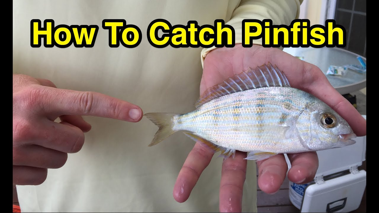 How to Catch Pinfish for Bait Without a Cast Net or a Pinfish Trap (Full  Instructions)