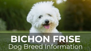 Bichon Frise Dog Breed information and Pictures  Chews A Puppy