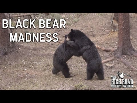 Black Bear Madness