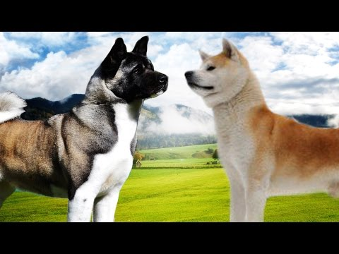 American Akita VS Japanese Akita - Highlights - YouTube