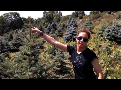 Christmas Trees need to be pruned. In the summer, IT IS HOT! See what happens in the dog days of August, so you can enjoy fruits of the labor during the cool days of December.
