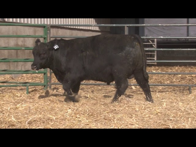 Schiefelbein Angus Farms Lot 381