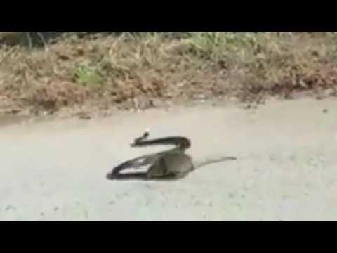 Rata Ataca a Serpiente Para Salvar a su Cría || VÍDEO VIRAL 2016