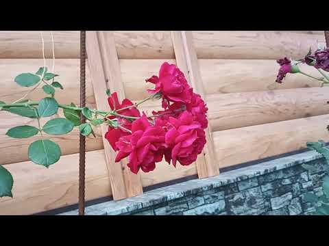 Обрезка плетистой розы летом после цветения.
