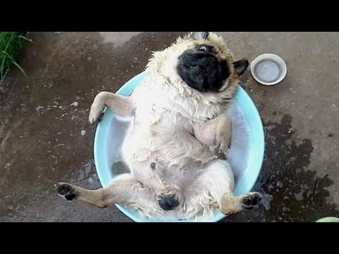 FORGET CATS! Funny PUGS are here to MAKE YOU LAUGH! - Funny DOG compilation